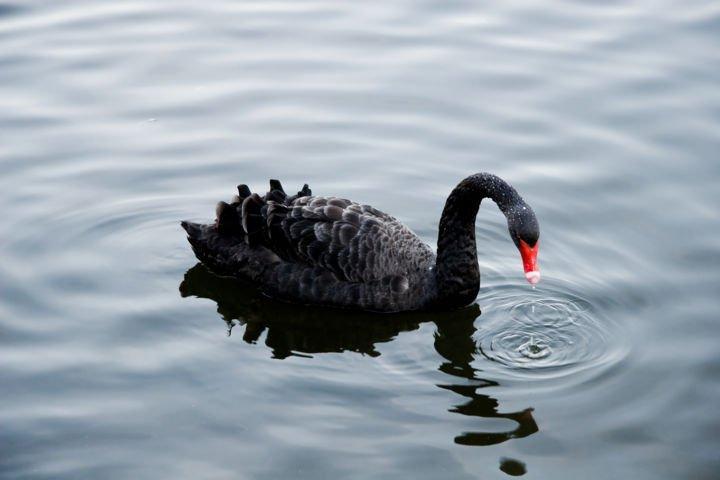 Teoria del Cigno Nero, Cigno Nero in acqua